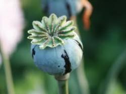 Opium rehab